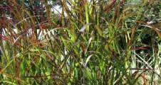 Panicum virgatum Rehbraun