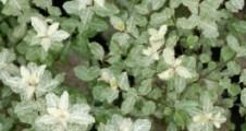 Pittosporum tenuifolium Irene Patterson