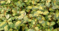 Elaeagnus x ebbingei Coastal Gold
