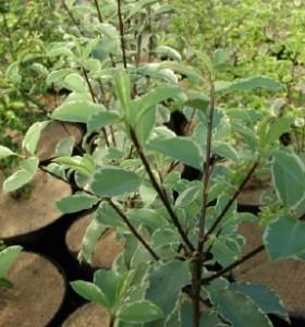 Pittosporum tenuifolium Silver Queen AGM