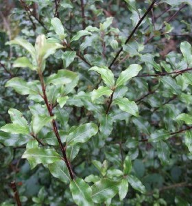 Pittosporum tenuifolium French Lace