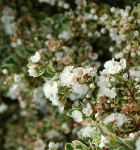 Luma apiculata Glanleam Gold