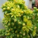 Aeonium cuneatum
