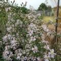 Symphyotrichum cordifolium Elegans
