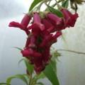 Buddleja colvilei Kewensis