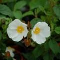 Cistus x corbariensis (syn. x hybridus)