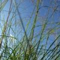 Eragrostis elliottii Wind Dancer