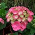 Hydrangea macrophylla Dvarg