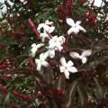 Jasminum polyanthum Dark Leaf Form