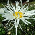 Leucanthemum x superbum Phyllis Smith