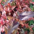 Persicaria microcephala Red Dragon