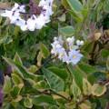 Solanum laxum Aureovariegatum