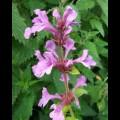 Stachys macrantha Superba