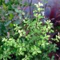 Pittosporum tenuifolium Loxhill Gold