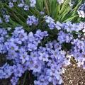Sisyrinchium Blue Ice