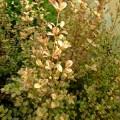 Lophomyrtus x ralphii Multicolor