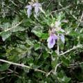 Teucrium fruiticans Drysdale