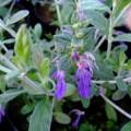 Teucrium fruiticans Azureum AGM