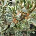 Rhamnus alaternus Argenteovariegata
