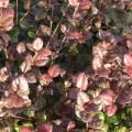 Lophomyrtus x ralphii Kathryn